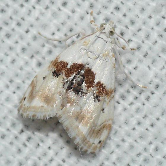 Moth 09.07.17 (5) - Lipocosma septa