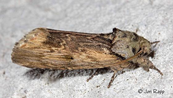 Red-washed Prominent (likely) - Oligocentria semirufescens