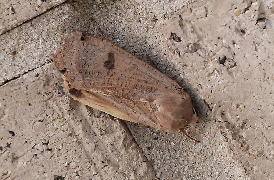 morning moth7 - Noctua pronuba