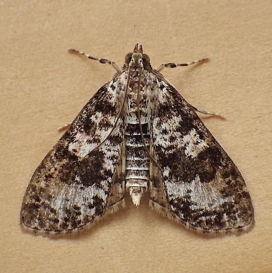 Crambidae: Palpita magniferalis - Palpita magniferalis