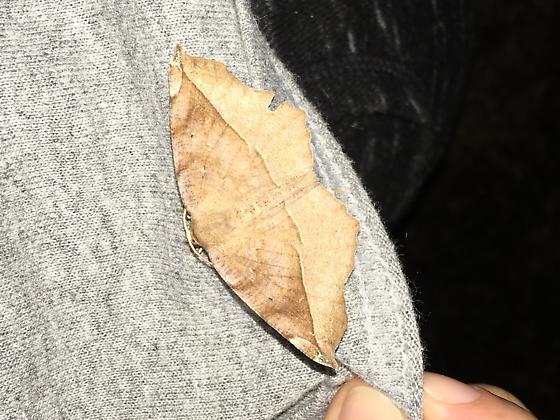 Medium sized moth - Eutrapela clemataria