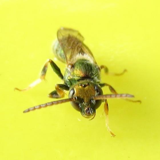 bee - Augochlorella aurata
