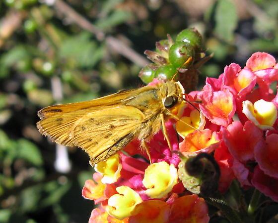 Fiery Skipper - Hylephila phyleus? - Hylephila phyleus