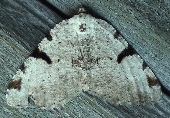 Geometridae: Speranza subcessaria? - Macaria subcessaria