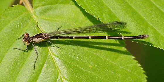 Damselfly - Chromagrion conditum - female
