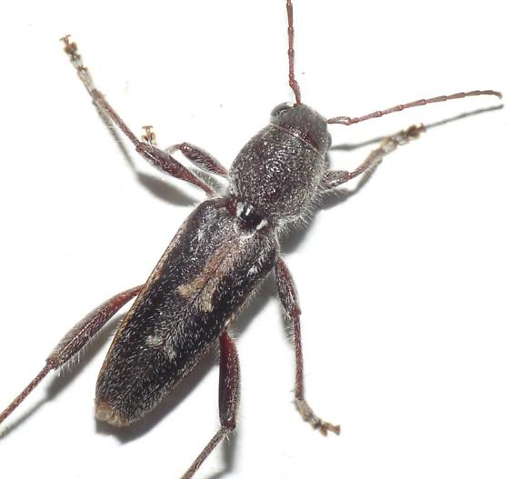 Cerambycid - Xylotrechus sagittatus - male