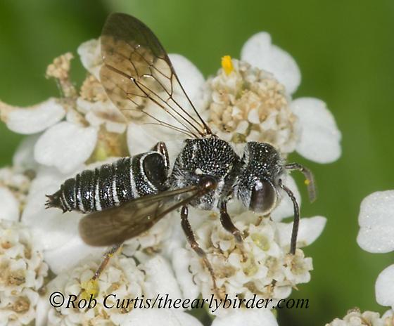 9040129 LC Bee - Coelioxys