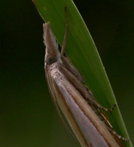 Crambus satrapellus