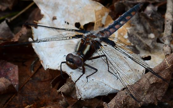 Dragonfly - Ladona deplanata - female