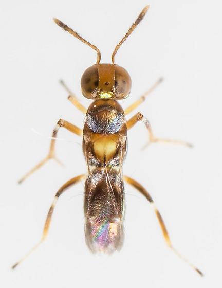 Wasp - Cheiloneurus