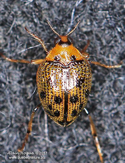 Coleoptera - Peltodytes