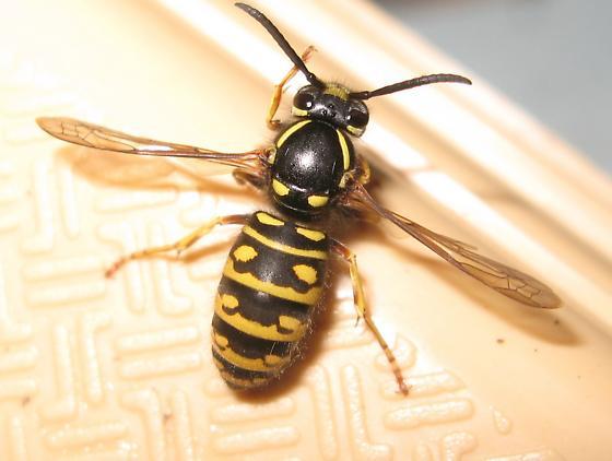 Vespula acadica - female