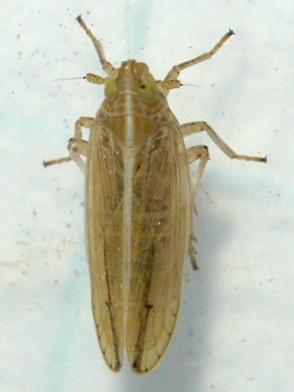 Planthopper - Stenocranus