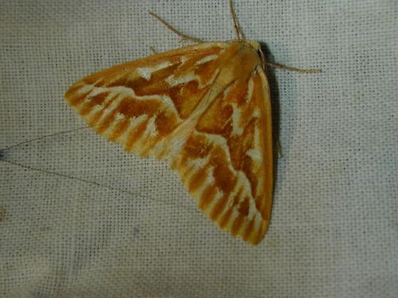 Geometridae - Caripeta piniata
