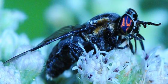 Deer Fly caught by Ambush Bug carbonarius group - Chrysops - female