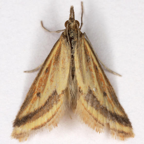 Microtheoris ophionalis ? - Microtheoris ophionalis