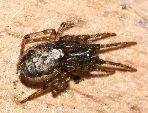 Orb weaver - Zygiella nearctica