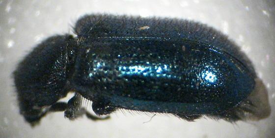 Blue Corynetes - Necrobia violacea