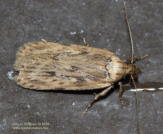 Moth - Depressaria radiella