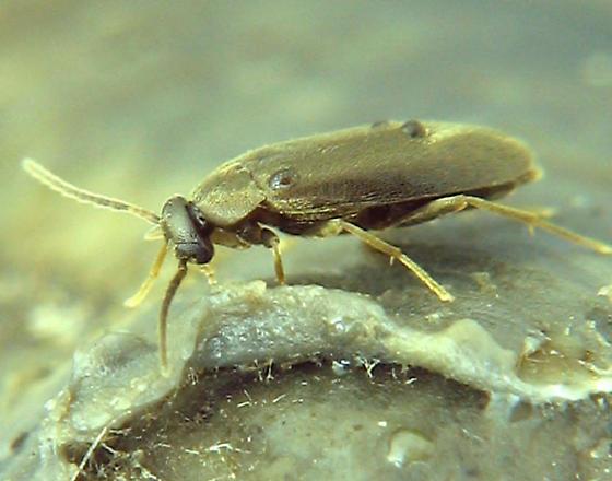 small, active larva, red oak bark, now an imago (adult) - Canifa pallipes