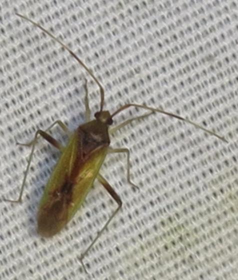 bug @ moth Lights - Creontiades