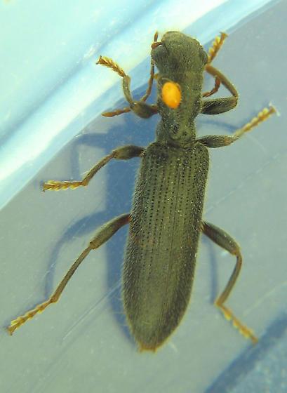 mitey clerid - Cymatodera
