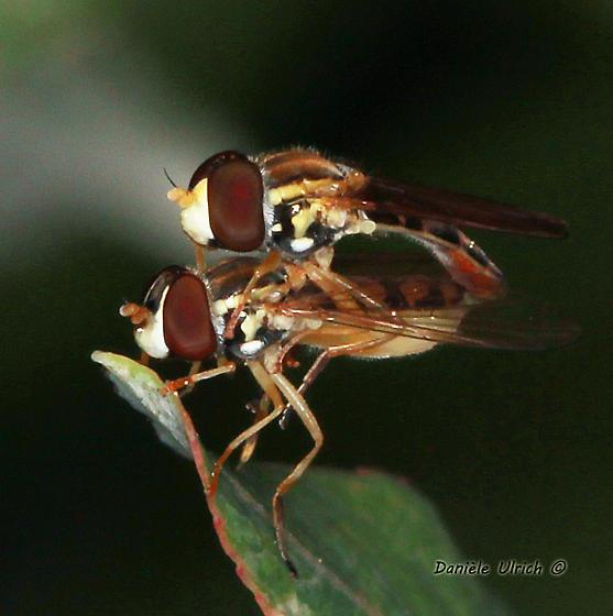 Mr. and Ms. Syrphidae - Toxomerus marginatus - male - female