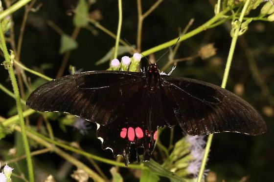 Papilio anchisiades  - Papilio anchisiades