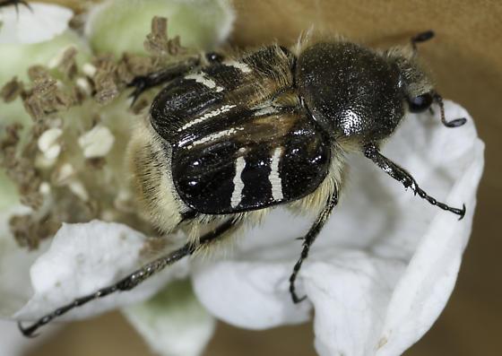 Trichiotinus assimilis ? - Trichiotinus assimilis
