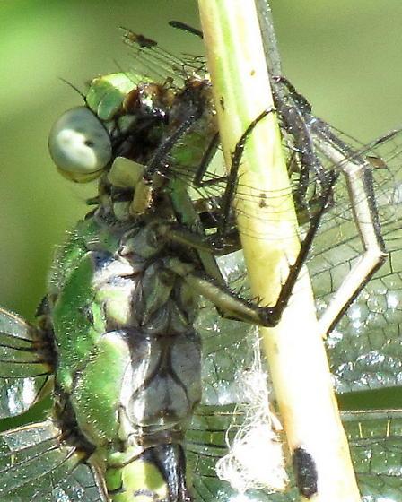 Western Pondhawk female or immature male - Erythemis collocata