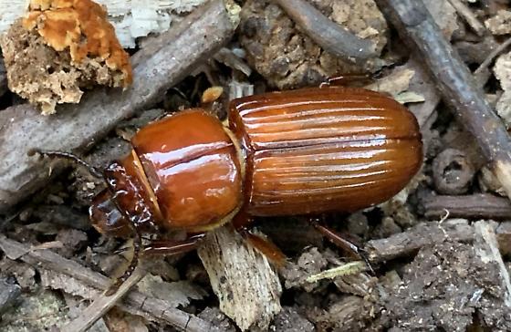 Horned Passalus beetle? - Odontotaenius disjunctus