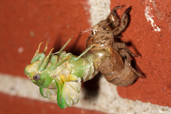 Molting Cicada - Megatibicen pronotalis