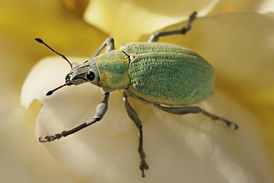 Blue-green Citrus Root Weevil (Pachnaeus litus) - Pachnaeus litus