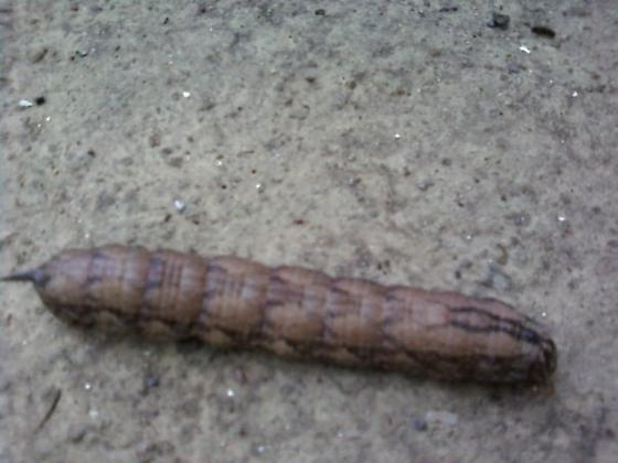 caterpillar in tennessee - Agrius cingulata