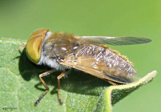 fly - Atylotus - male