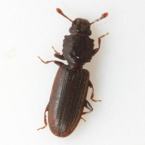 Nausibius sp. EGR 1 - Nausibius undescribed