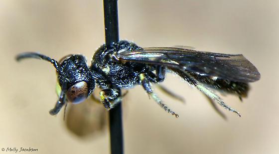Pseudopanurgus andrenoides - male