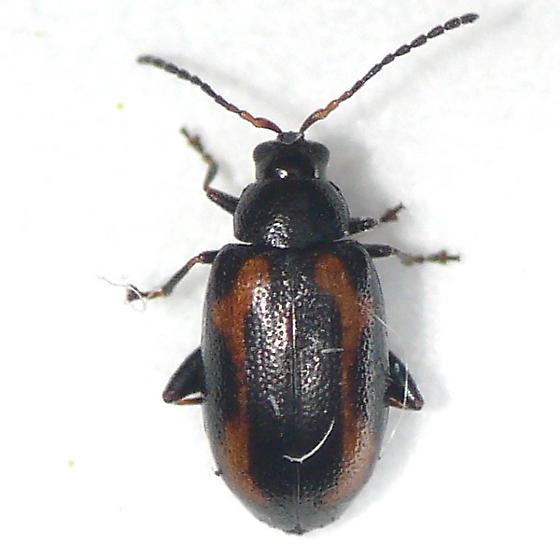 Flea beetle from Jasper 10.07.11 - Phyllotreta striolata