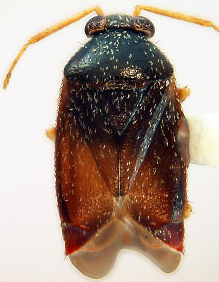 Atractotomus miniatus (Knight) - Atractotomus miniatus