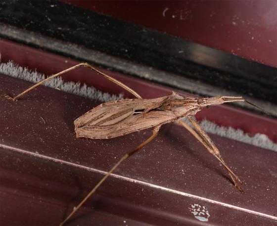 what am I? - Stenopoda spinulosa
