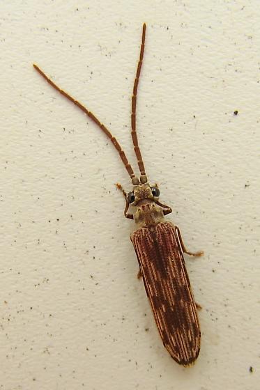 Reticulated beetle - Tenomerga cinerea