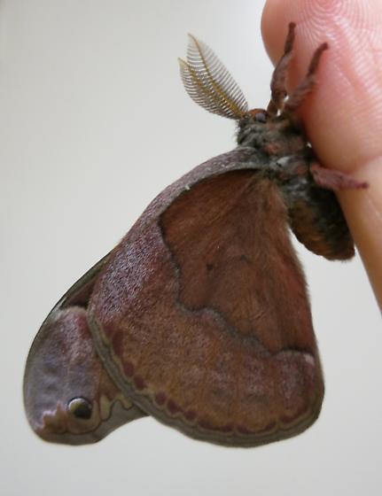 Sweetbay Silkmoth - Callosamia securifera - male