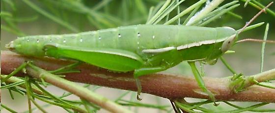 Linearwinged grasshopper