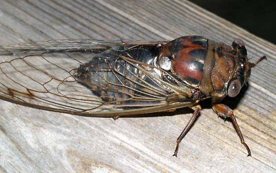 Cicada - Megatibicen resonans