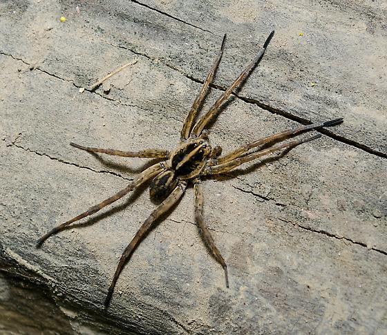 Unknown Wolf Spider - Tigrosa