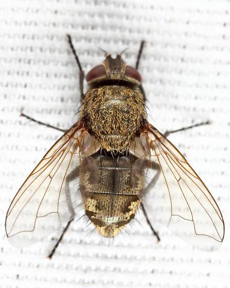 Pollenia - Pollenia pediculata