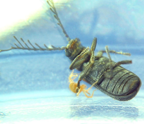 At last, a live one - Eucrada humeralis - male