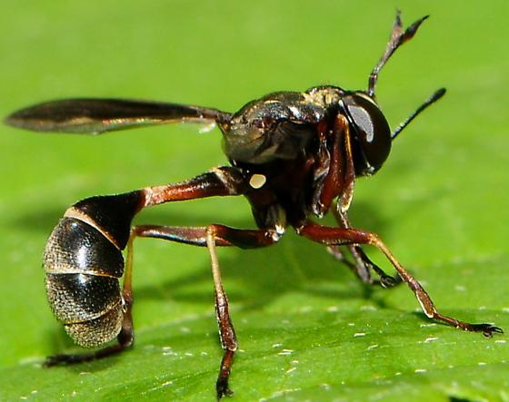 Thickheaded Flies Physocephala furcillata - Physocephala furcillata