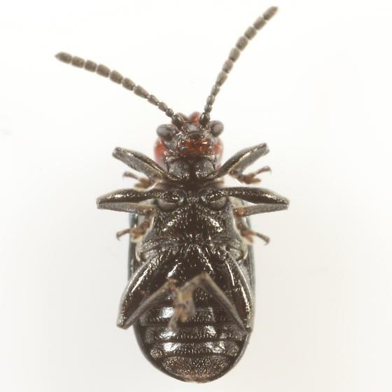 Oulema? - Oulema palustris