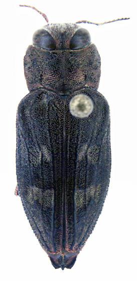 Chrysobothris adelpha Harold - Chrysobothris adelpha - female
